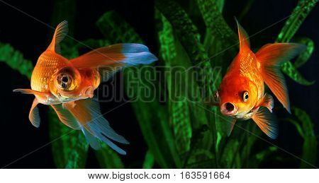 Goldfish aquarium a fish on the background of aquatic plants
