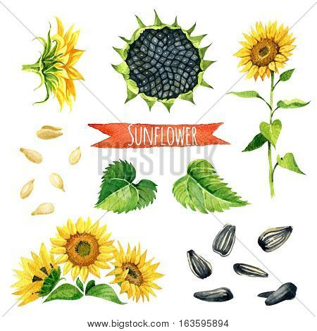 Sunflower hand-painted watercolor set vector clipping paths included
