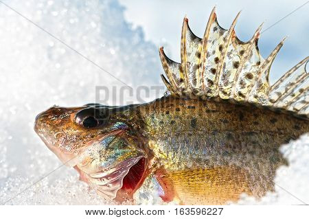 Ruff ordinary ( lat. Gymnocephalus cernuus ). Freshwater fish inhabiting the waters of Europe and Northern Asia