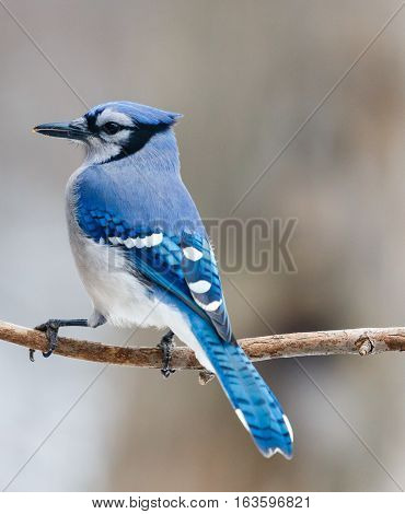 Close-up of a blue jay perched on a branch.