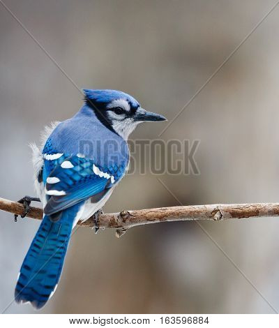 Blue Jay on a branch with a small breeze.