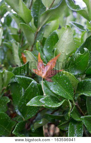 Brown fallen leaf hanging on a green bush