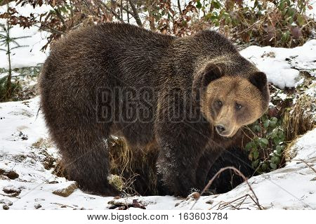 Bear in front of its burrow,nature reserve Germany