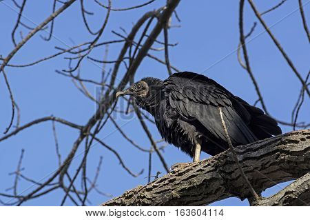 Black vulture is a bird in the New World vulture family whose range extends from the southeastern United States to Central Chile and Uruguay in South America. Its scientific name is Coragyps atratus.