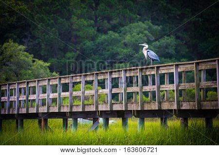 Blue Heron on Boardwalk in the Low Country, South Carolina