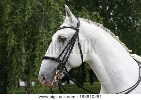 Head Shot Of A Beautiful White Horse