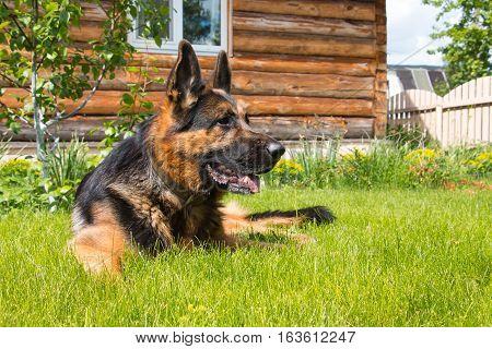 Dog German Shepherd On The Grass