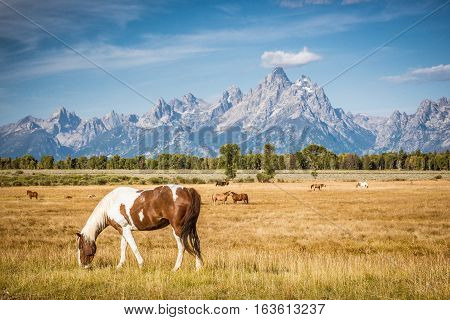 Grand Tetons Watching Over the Horses, Jackson Hole, Wyoming