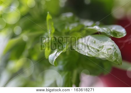 Small  Wet Basil Plant