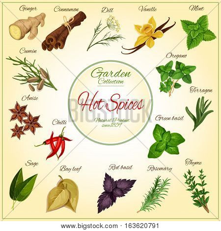 Hot Spices and spicy herb seasonings and condiments poster of vector ginger, cinnamon, dill, vanilla and mint leaves, cumin, anise and oregano, chilli pepper, terragon or tarragon and green basil, sage and bay leaf, red basil and rosemary, thyme
