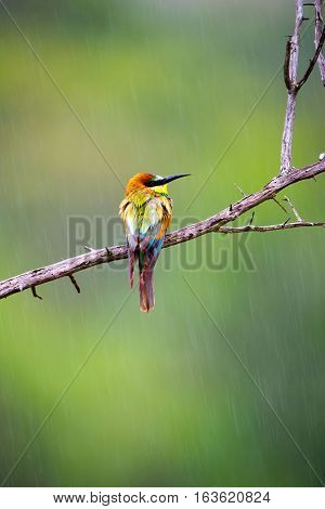 European Bee Eater in the rain, Kruger National Park