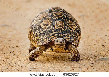 Leopard Tortoise Kruger National Park South Africa