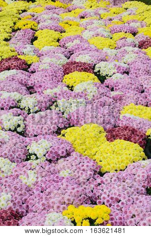 Beautiful Chrysanthemum Flowers Closeup Chrysanthemum for background