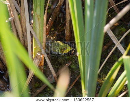 Green American Bullfrog among the grass in a pond in central Ohio park