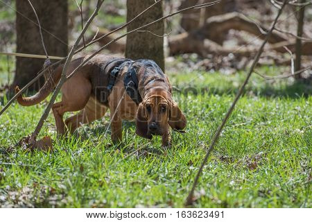 Bloodhound up close tracking through wooded area.