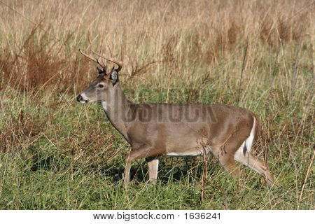 Deer Buck In The Long Grass 2