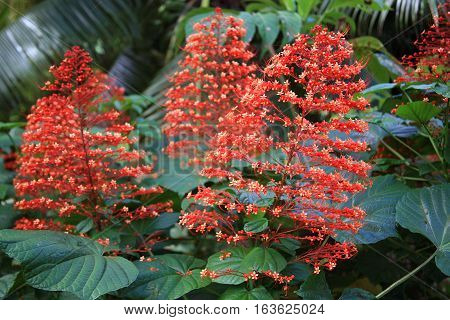 Known as the Christmas Tree plant. Found on Raiatea island in Tahiti.