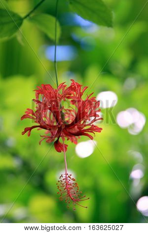 Hibiscus Rosa, found on Raiatea island in Tahiti