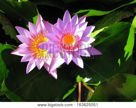 Purple Water Lilly flowers with center like a cup of melted butter (#3) - in pond in Tahiti on Raiatea island