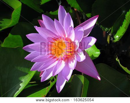 Purple Water Lilly flower with center like a cup of melted butter (#1) - in pond in Tahiti on Raiatea island
