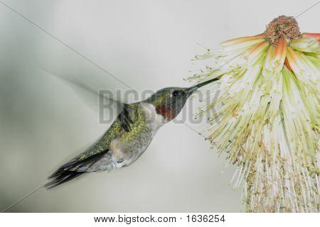 Humming Bird Hovering 3