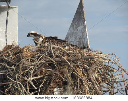 osprey nest with one adult and three immatures