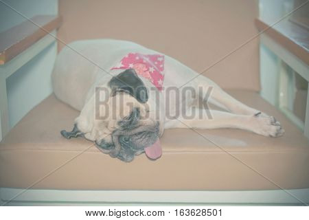 Cute puppy pug dog sleep rest on sofa with Scarf by chin and tongue lay down and Lazy with sad mood filter