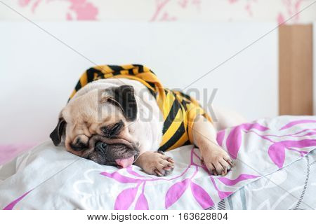 Cute pug dog puppy sleep rest with yellow shirt and hood on the pillow bed on weather cold