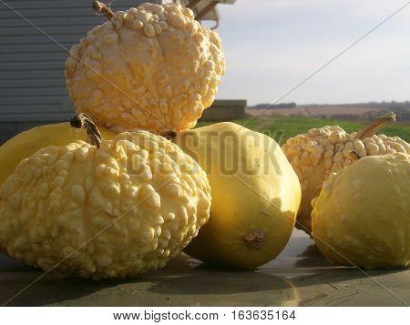 Freshly harvested summer gourds basking in the sun