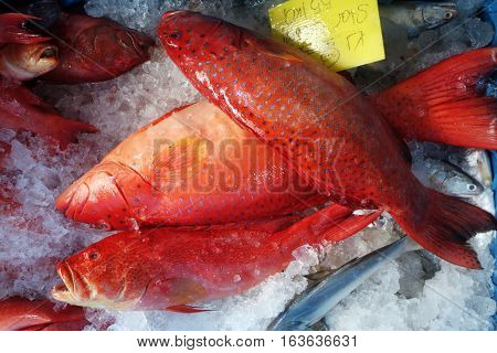 Blacktip grouper or Red-banded grouper on ice