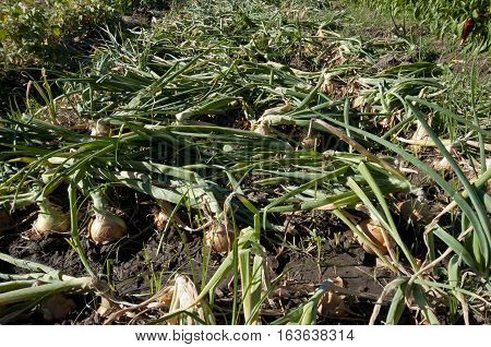 Bed of onions after stepping on them in a vegetable garden in Ciudad Real Province Spain