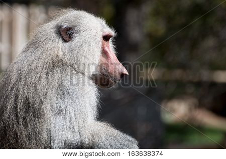 Yellow baboon Papio cynocephalus. It is a baboon from de Old World monkey familiy. It inhabits savannas and light forests in the eastern Africa.