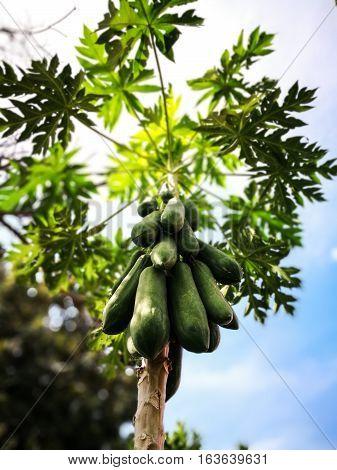 The papaya tree and papayas. The papaya tree and papayas.