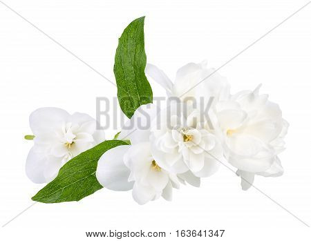 Branch of jasmine flowers isolated on white background. White jasmine flower. Jasmin branch with flowers isolate. Closeup of white blooming terry jasmin flowers. White flowers with green leaves