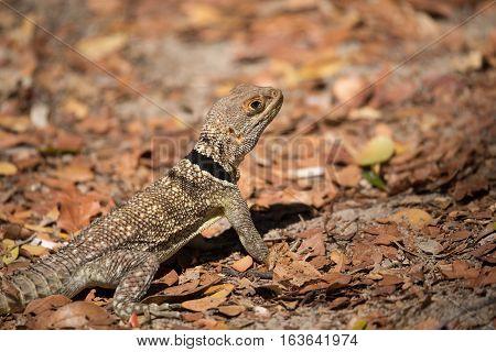 Collared Iguanid Lizard, Madagascar