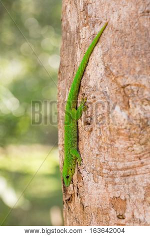 Phelsuma Day Geckos (Phelsuma madagascariensis)in its natural habitat on tree. Farankaraina Tropical Park Toamasina province Madagascar wildlife and wilderness poster