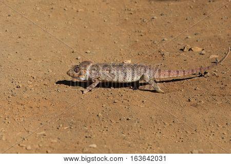 Malagasy Giant Chameleon, Madagascar