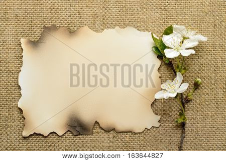 branch of the cherry blossoms and old paper