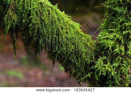 Amblystegium Serpens Or Creeping Feathermoss On Branch.