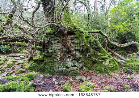 Tree with roots entwined with masonry UK.