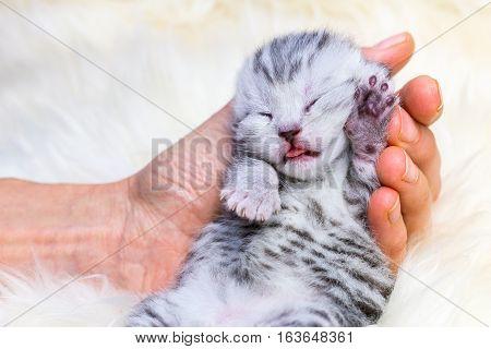 Newborn british shorthair silver tabby spotted kitten lying sleeping in hand on fur