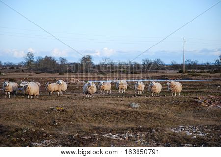 Curious lined up sheep in a landscape at the swedish island Oland