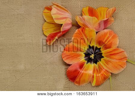 three orange tulips on the background of burlap