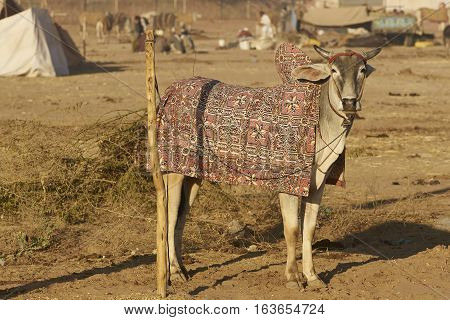 Bullock in colourfully embroidered blanket at the annual Nagaur Livestock Fair in Rajasthan, India.