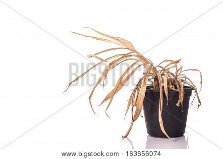 Yellow Dead Plant (pandanus) In Potted. Studio Shot Isolated On White