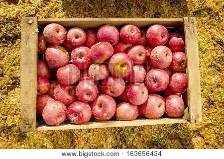 Italian Typical Apples In Wooden Box