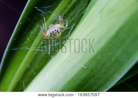 Little inverted spider spin a web on the natural green leaf.