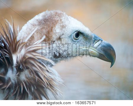 Himalayan griffon vulture, Gyps himalayensis, close-up shot of unique mountain scavenger bird.