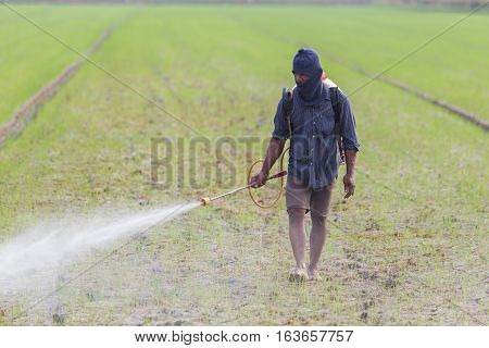 CHAI NAT THAILAND - DECEMBER 11 2016: An unidentified people Thai farmer spraying chemical to green young rice field in Chai Nat on December 11 2016.