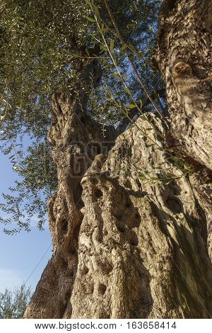Centenary plant:old olive tree.Apulia.Italy.Trunk detail with the wood grain.